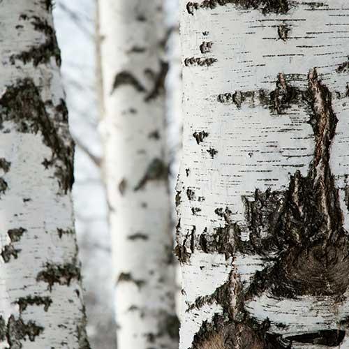 freya-birch-spirit-02