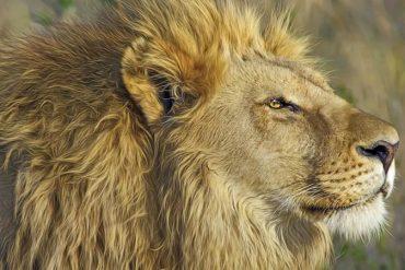 Sol em Leão: Texto sobre astrologia para os próximos dias. Na imagem, o rosto de um leão.